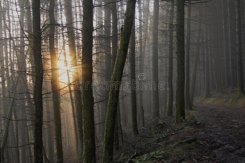 Fog coming through the forest with the sun breaking through royalty free stock photos