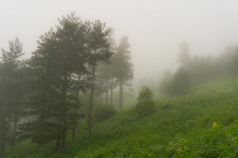 Fog in the forest. Foggy weather in the spruce forest at the edge of the Alpine zone royalty free stock photo
