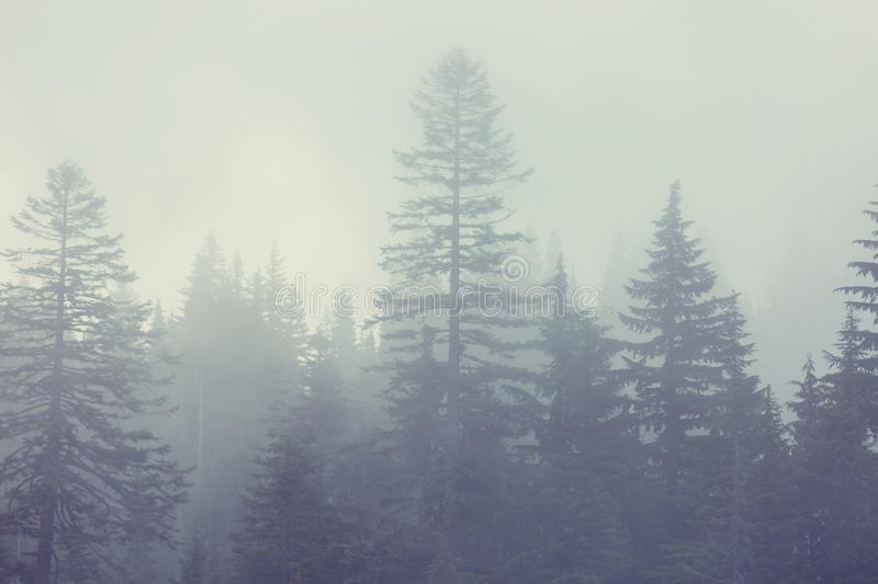 Fog in the forest. Magic misty forest. Beautiful natural landscapes stock photos