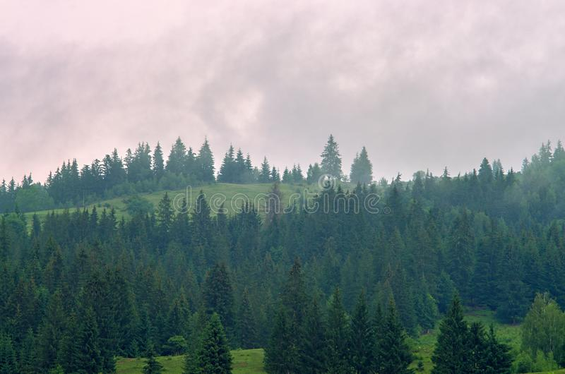 Fog in the forest of pine trees in the mountains stock photo