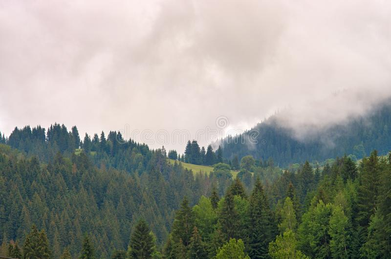 Fog in the forest of pine trees in the mountains royalty free stock photo
