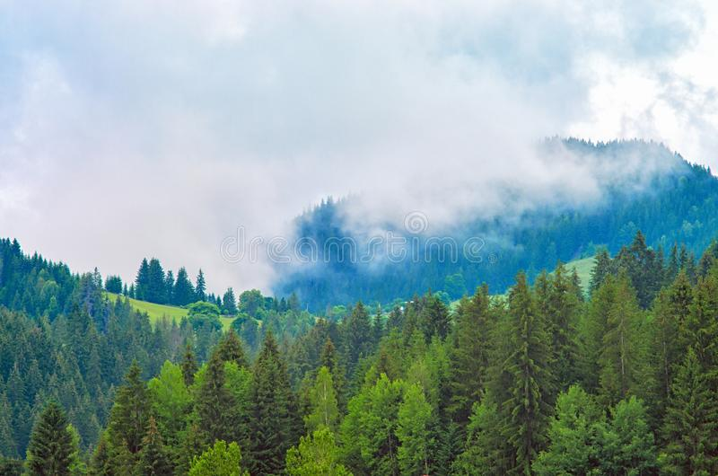 Fog in the forest, pine trees, mountains stock photography