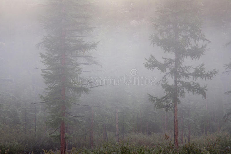 Fog in the larch forest. Labynkyr lakeside. Yakutia. Russia stock photo