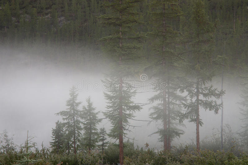 Fog in the larch forest. Labynkyr lakeside. Yakutia. Russia royalty free stock image