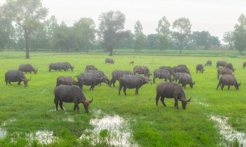 Fog in the morning with the buffalo herds in the country`s rural stock image