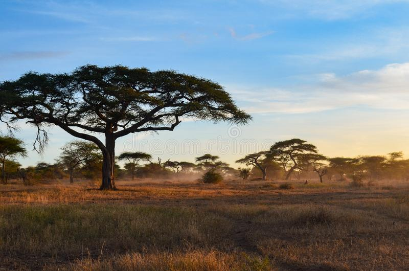 Fog rolls in among the acacia trees of of Serengeti National Park at dawn in Tanzania, Africa stock image