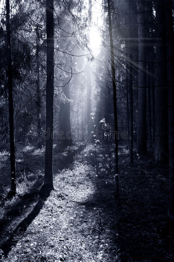 Fog and sunny rays in a forest stock photos