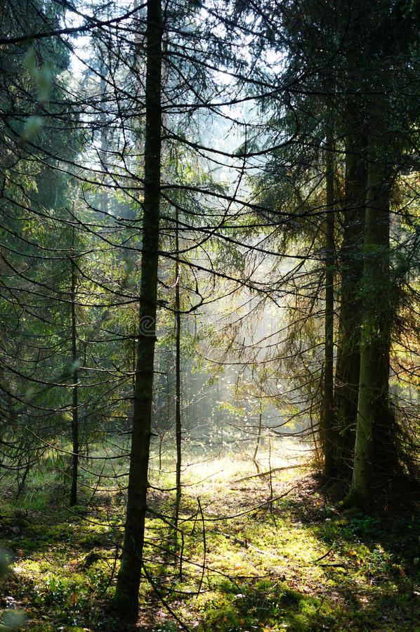 Fog and sunny rays in a forest stock photography
