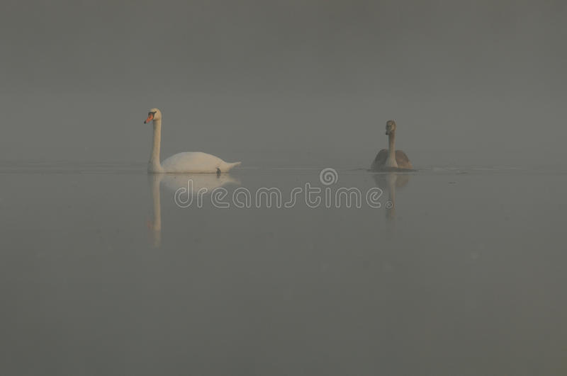 Through the Fog. This two swans are swimming on a mystic lake with fog royalty free stock photos