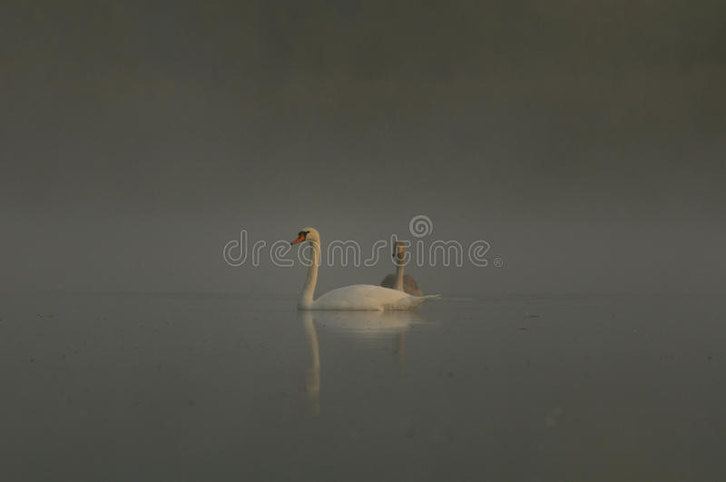 Through the Fog. This two swans are swimming on a mystic lake with fog stock photography