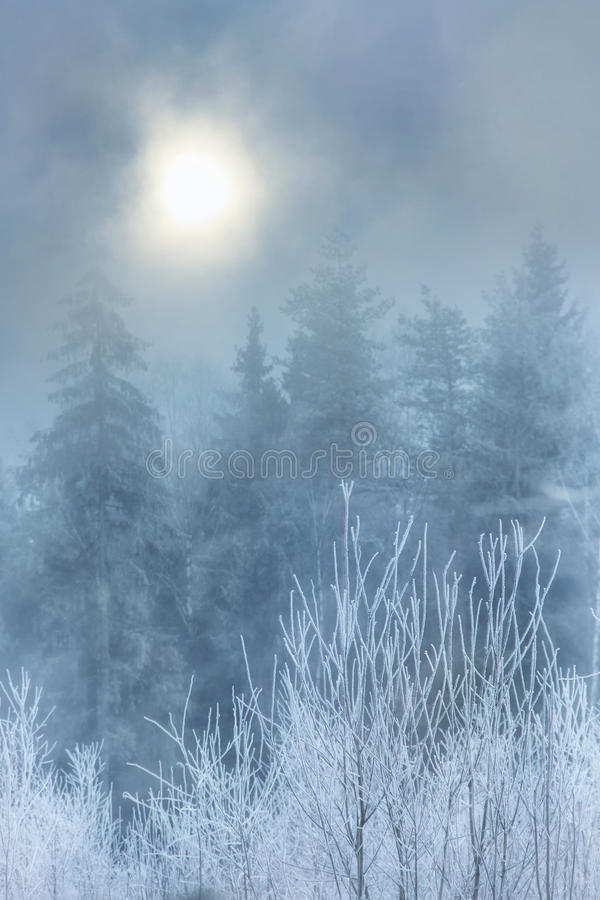 Fog in winter forest. In frosty morning