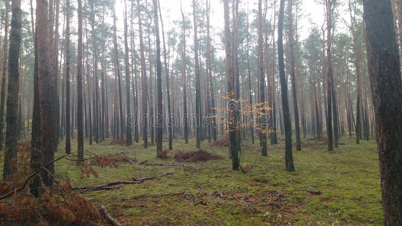 Fogg, outono, floresta, árvores, verdes imagem de stock