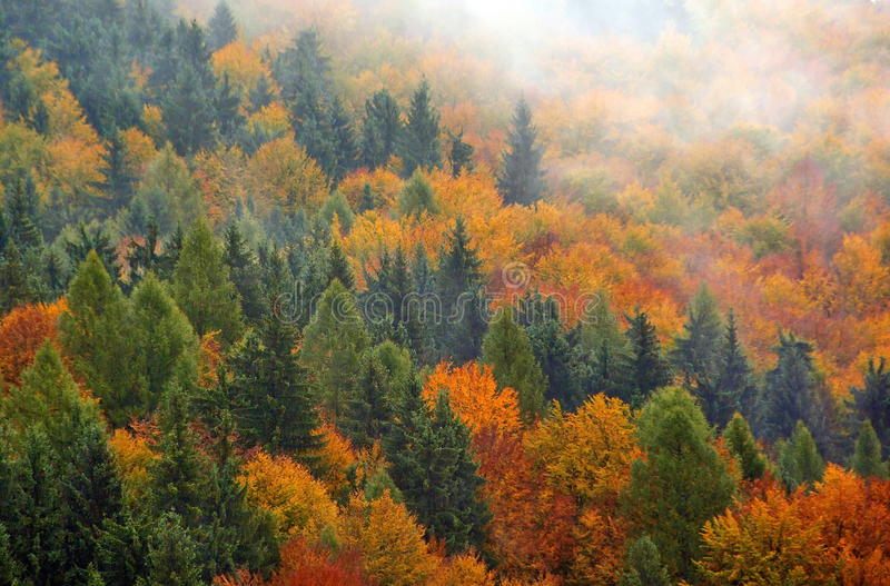 Autumn Forest. Foggy Autumn Forest in Romania stock photography