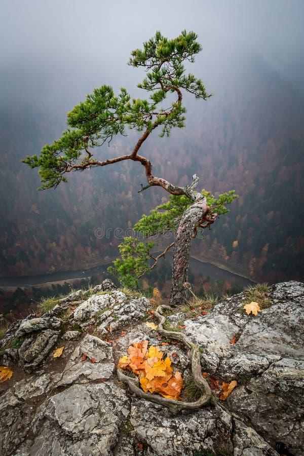 Foggy dawn at Sokolica peak in Pieniny mountains in autumn. Europe royalty free stock image