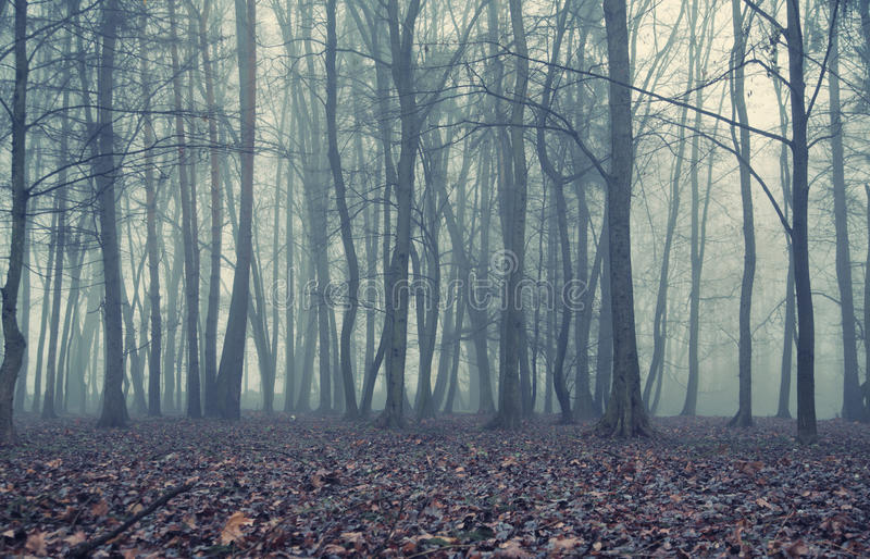 Foggy evening in the old forest. Foggy evening in the autumn forest royalty free stock photos