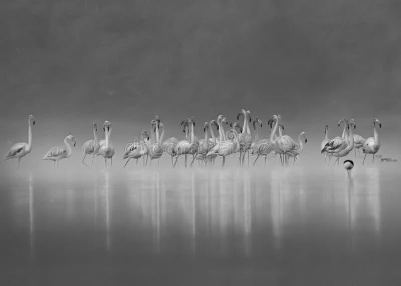 Foggy Flamingos royalty free stock images