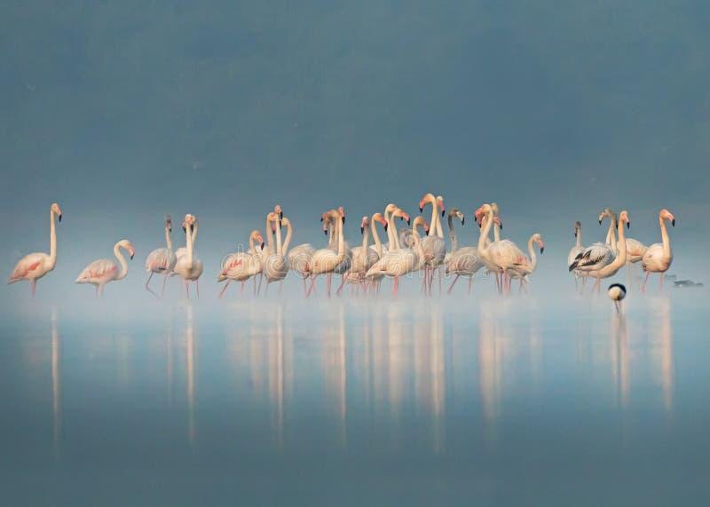 Foggy Flamingos royalty free stock image