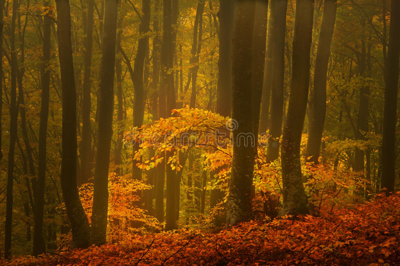 Foggy forest during autumn royalty free stock image