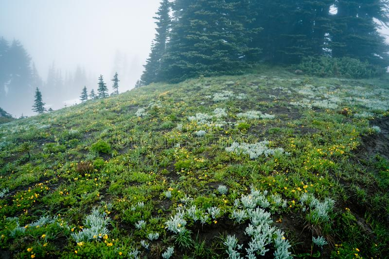 Foggy forest flowers field in Mount Rainier National Park. Washington, United States stock photography