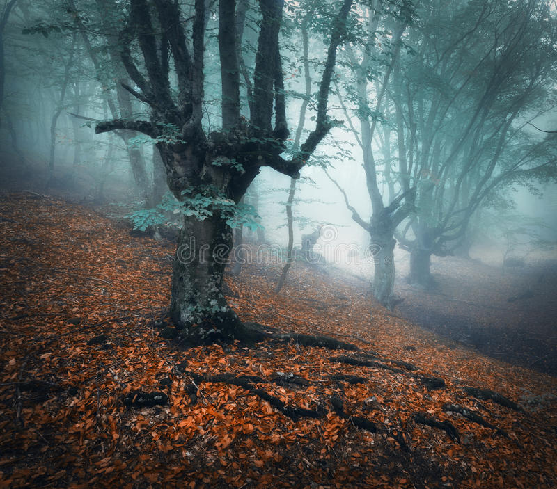 Foggy forest. Mystical autumn forest in fog in the morning. Autumn forest. Mystical autumn forest in blue fog in the morning. Old tree. Beautiful landscape with royalty free stock images