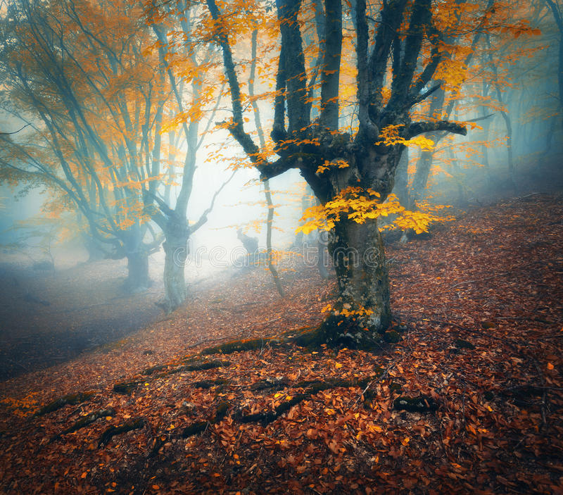 Foggy forest. Mystical autumn forest in fog in the morning. Old Tree. Beautiful landscape with trees, colorful orange leaves and fog. Nature. Enchanted foggy royalty free stock images
