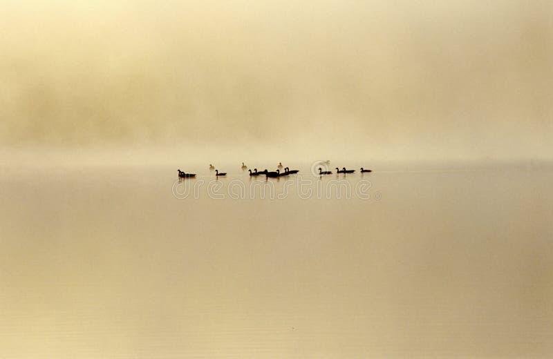 Foggy geese stock photos