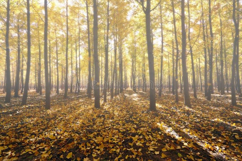 Foggy ginkgo forest. Mist light ginkgo forest, autumn season stock photos