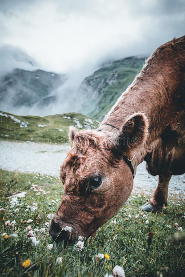 Foggy landscape in austrian Mountains. Cow is eating on the meadow with foggy background royalty free stock image