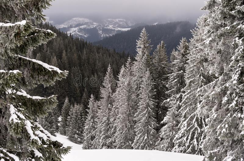 Foggy landscape of coniferous forest in the mountains in winter stock images