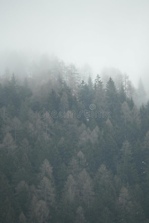 Foggy landscape. Firs tree tops in coniferous forest in the mist in winter. royalty free stock photos