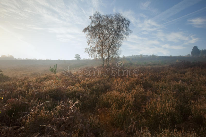 Foggy misty Autumn forest landscape at dawn royalty free stock images