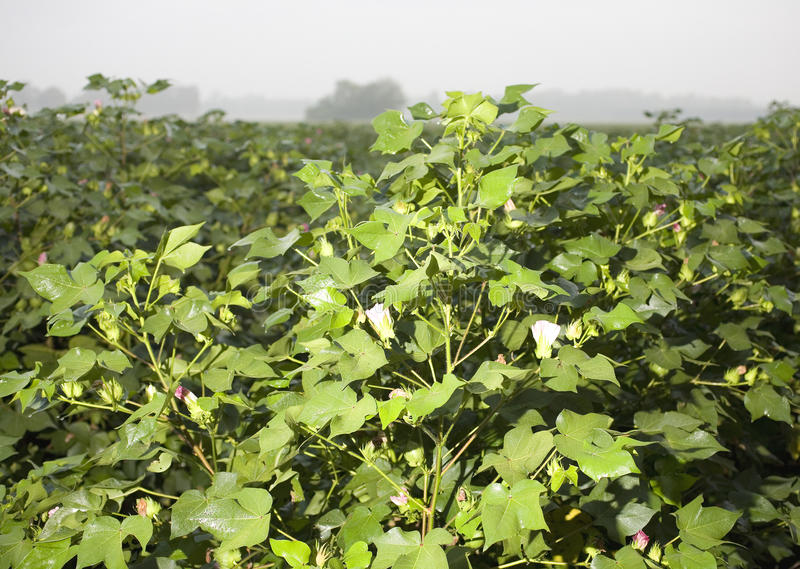 Download Foggy morning cotton field stock photo. Image of cotton - 16122916