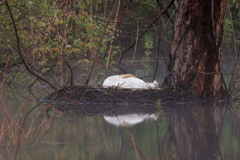 Foggy Morning Nesting Swan stock image