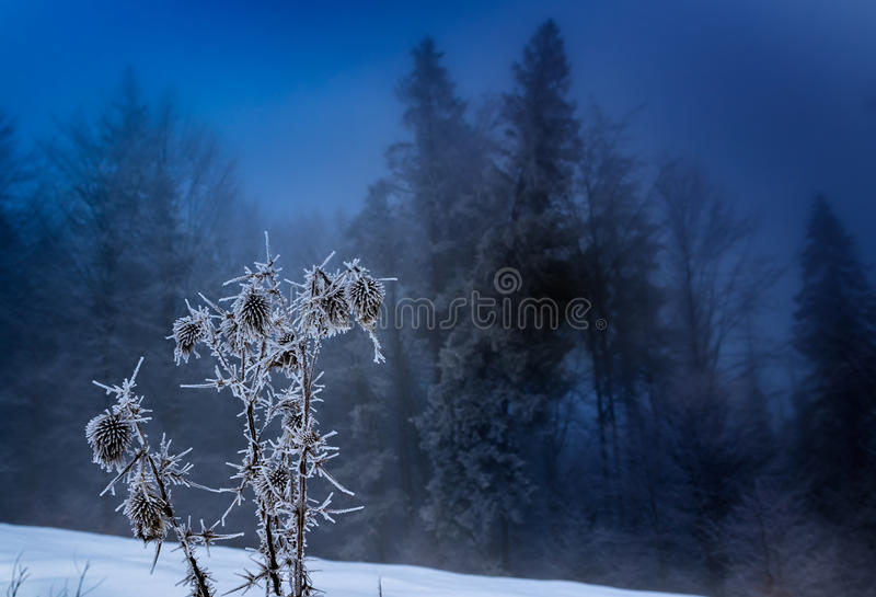 Foggy morning at winter forest. A winter mixed forest on mountains slopes in the morning fog. Color toning royalty free stock image
