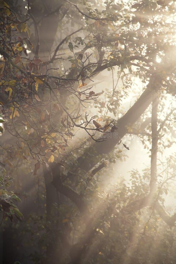 Foggy Orchard Stock Image