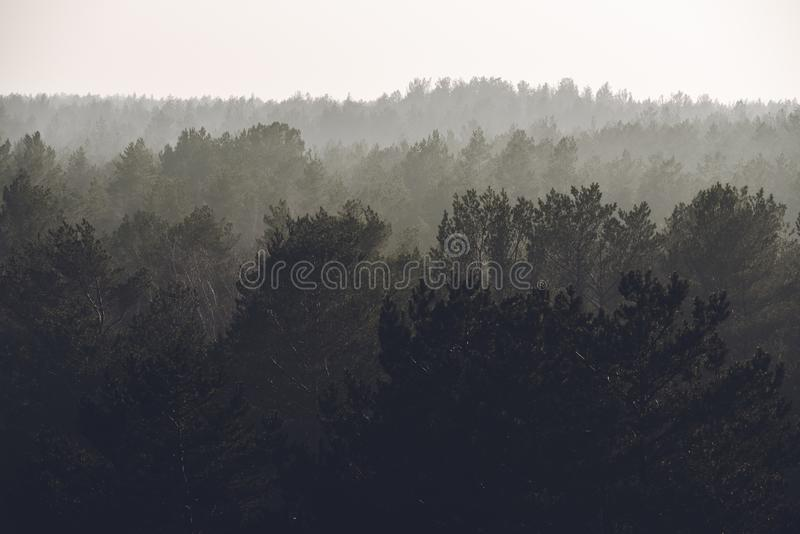 Foggy pine trees forest view.  royalty free stock images