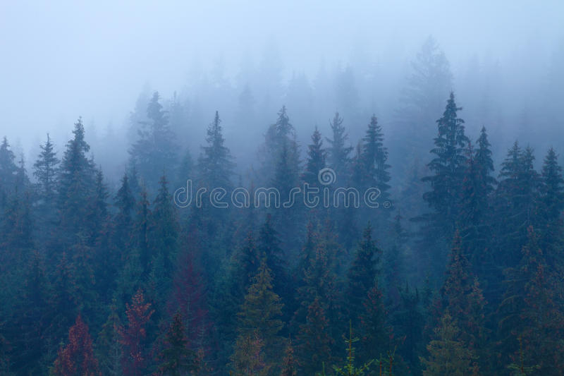 Foggy pine trees on mountain slope. Carpathian landscape in cloudy weather. Natural abstract background stock images