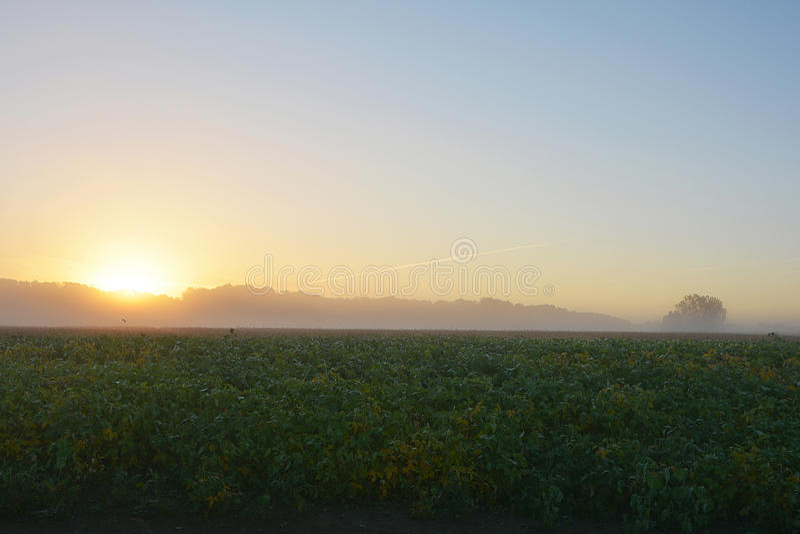 Foggy Soybean Sunrise royalty free stock image
