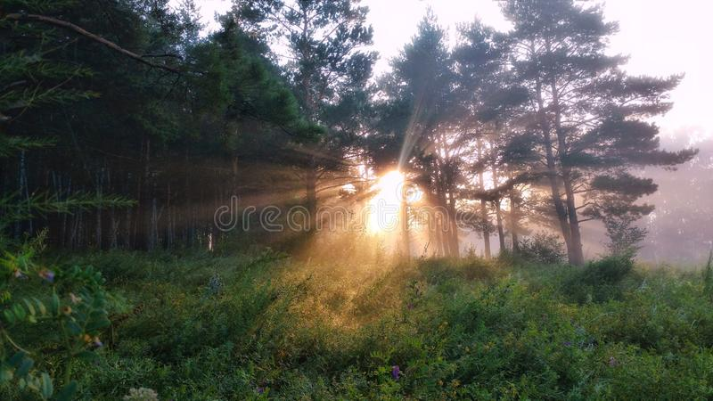 Foggy sunrise. In the forest early in the morning stock photography