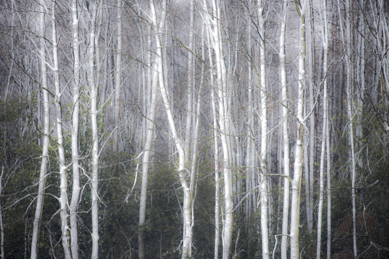 Foggy winter forest background. Misty forest with snow covered tree trunks stock photo