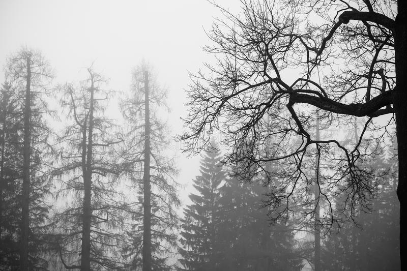 Foggy winter forest with bare trees, black and white royalty free stock images