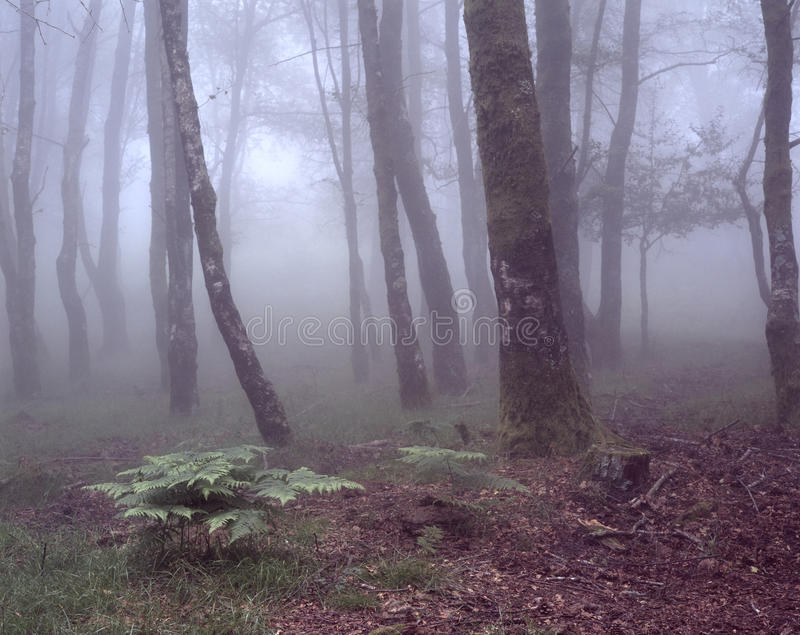 Foggy woods with green ferns stock images