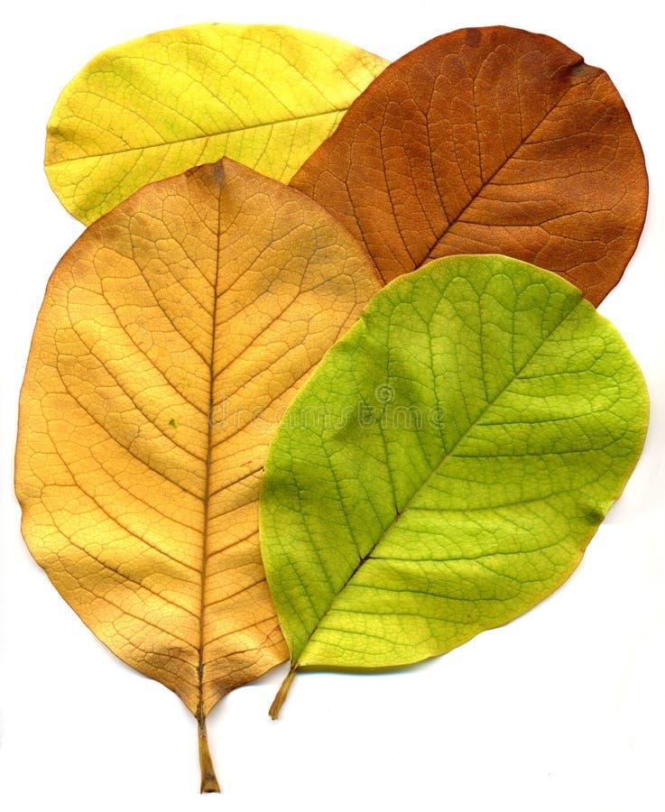 Download Fogli immagine stock. Immagine di fogli, autunno, albero - 3894961