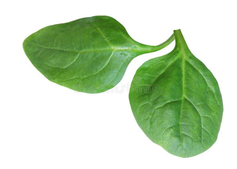 Fogli degli spinaci immagini stock