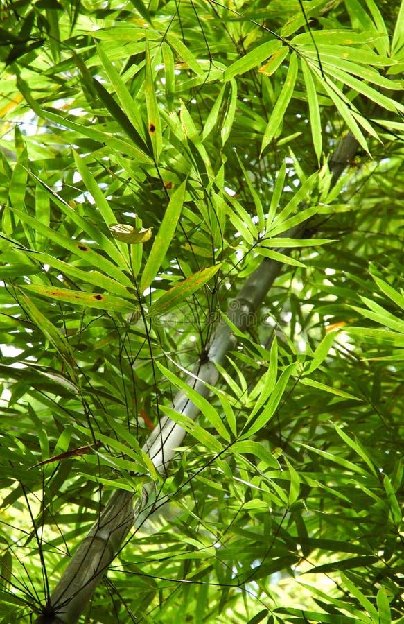 Fogli del bambù nella foresta della giungla della Tailandia del sud fotografia stock
