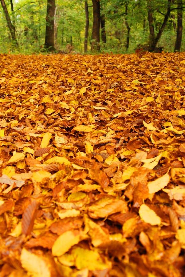 Fogli del faggio in autunno immagini stock