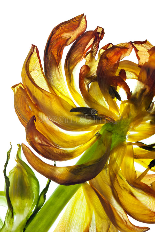 Fogli del tulipano fotografie stock libere da diritti