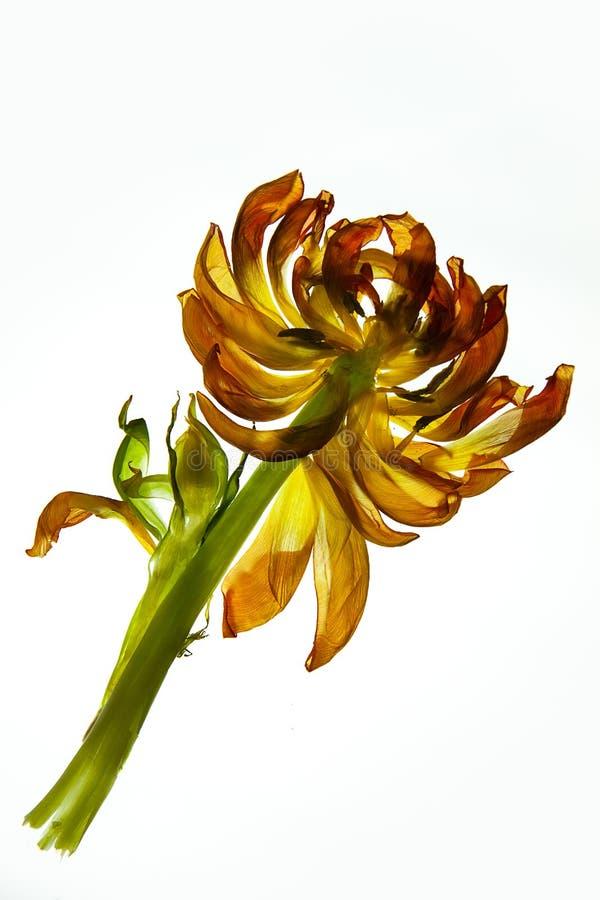 Fogli del tulipano fotografie stock