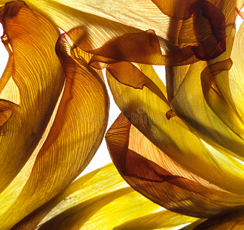 Fogli del tulipano immagini stock