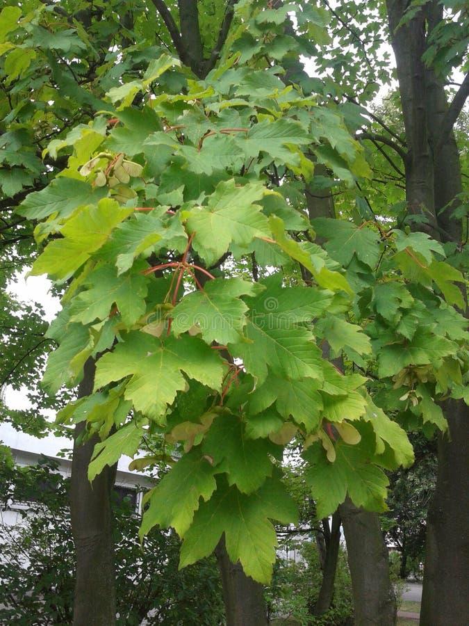 Fogli dell'albero fotografie stock libere da diritti